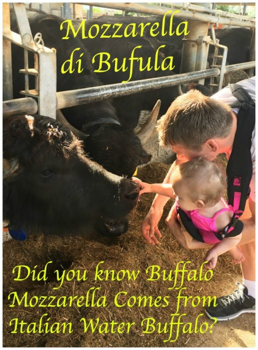 Buffalo Mozzarealla cheese comes from Italian Water Buffalo